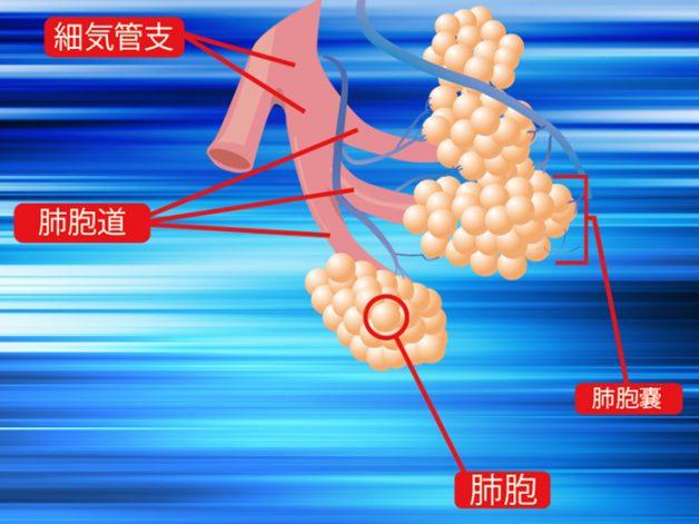 肺の詳細図と仕組み