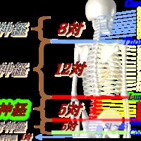 頚椎胸椎腰椎仙骨尾骨神経