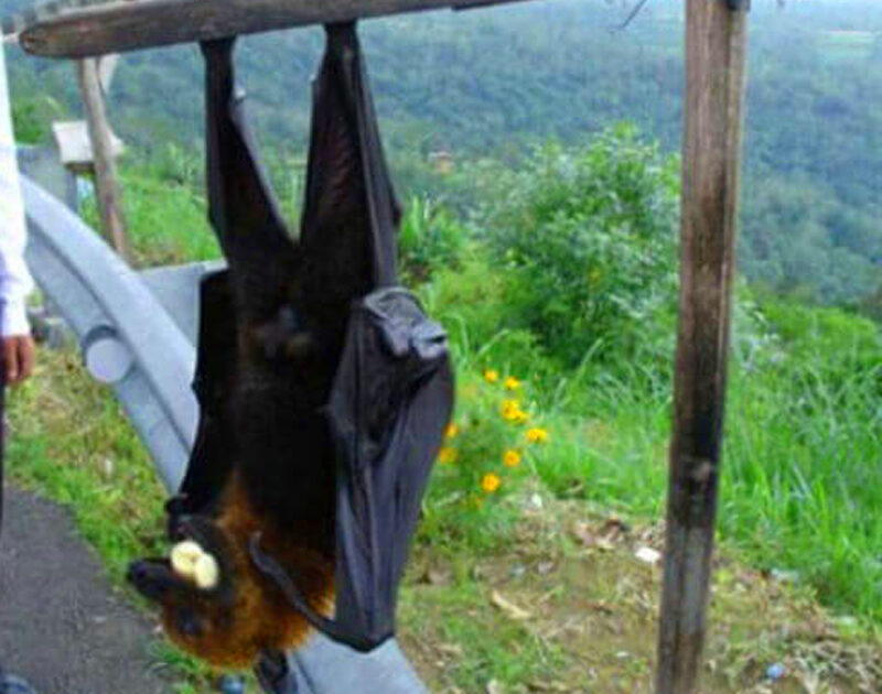 large-bat